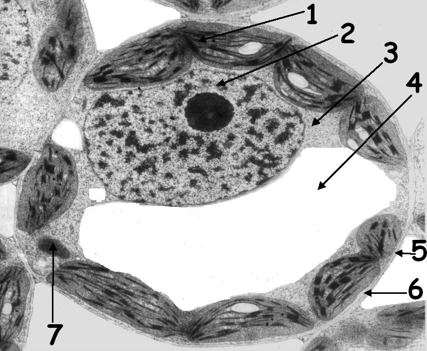 Une L�gende De La Cascade: Observation D'une Cellule Au Microscope électronique (x 7000
