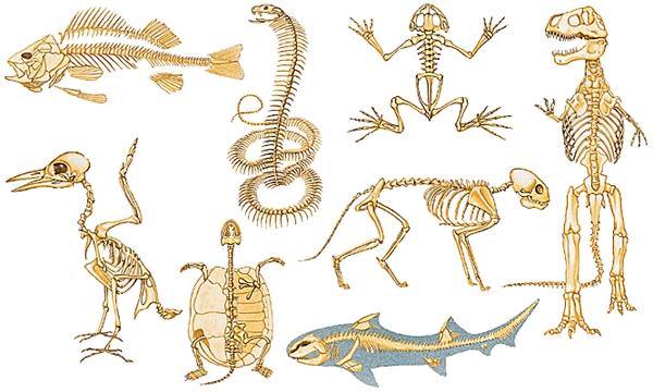 squelettes_vertebres