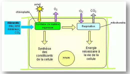 schema_metabolisme_cellule_chlorophyllienne
