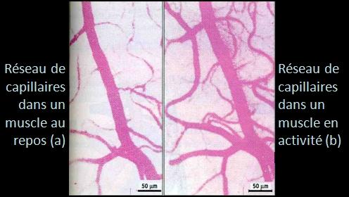 doc1_capillaire