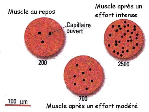 doc2_capillaire