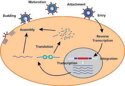 cycle_retrovirus
