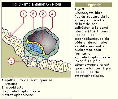 doc1_formation_placenta