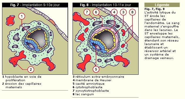 doc3_formation_placenta