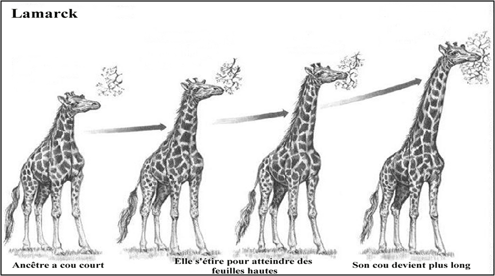 Evolution de la girafe selon Lamarck