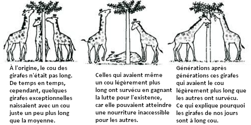 Evolution de la girafe selon Darwin