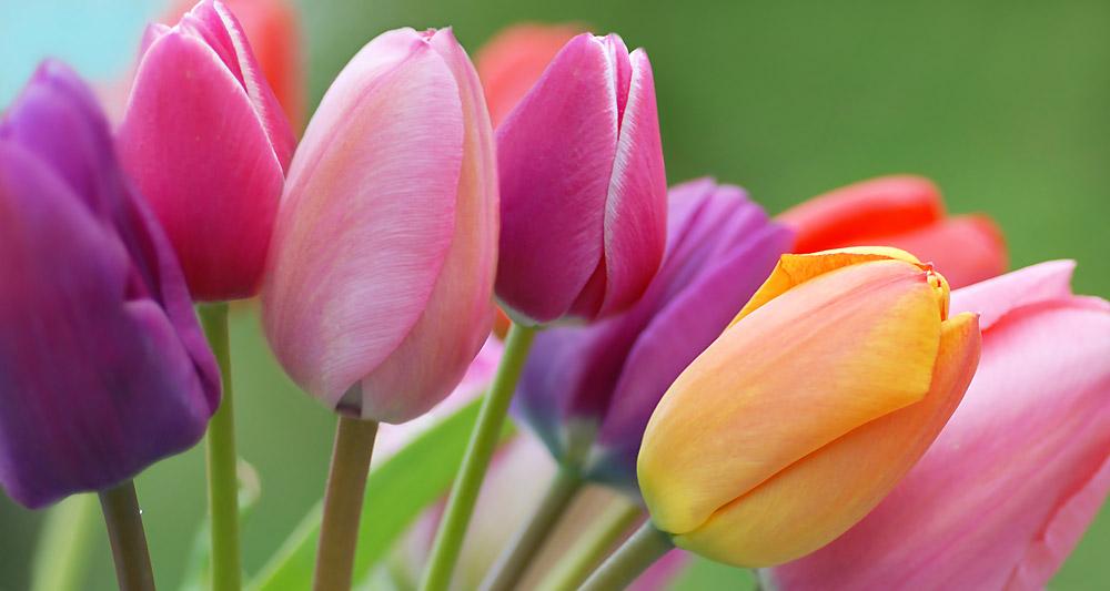 tulipe12